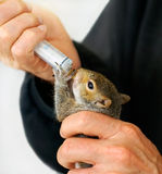 Man feeding rescued orphan baby squirrel. Man feeding rescued orphan baby Eastern Gray squirrel with special formula through a syringe with a miniature nipple stock photo