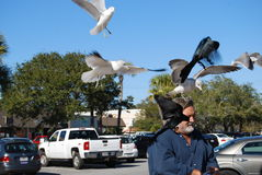 Man feeding sea gulls birds Stock Photos