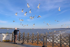 Man feeding sea gulls from a Jamestown-Scotland Ferry boat Royalty Free Stock Photography