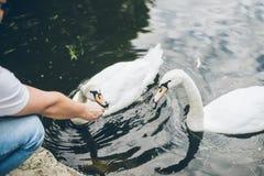 Man feeding swan with grass Royalty Free Stock Photo