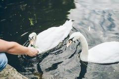 Man feeding swan with grass Stock Image