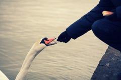 Man feeding swan Stock Image