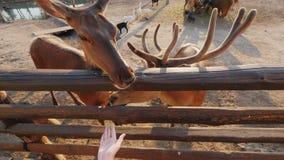 A child feeds a deer on a farm
