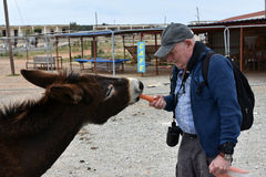 Man feeds donkey Stock Images