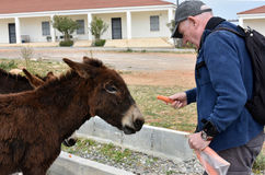 Man feeds donkeys Royalty Free Stock Photo