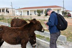 Man feeds donkeys Royalty Free Stock Images