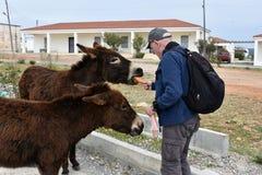 Man feeds donkeys Stock Photography