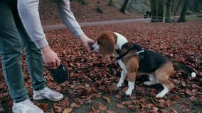 Man feeds his dog beagle snacks for obedience. stock video