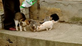 Man feeds homeless cats. Hard life. Of disadvantaged animals in the city stock footage
