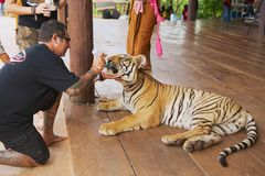 Man feeds Indochinese tiger with milk from a bottle in Kanchanaburi, Thailand. Royalty Free Stock Images