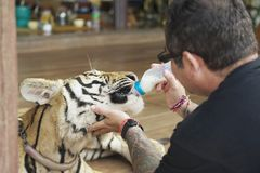 Man feeds Indochinese tiger with milk in Saiyok, Thailand. Royalty Free Stock Photos