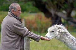 Man feeds Llama Royalty Free Stock Images