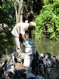 Man feeds penguins fish. Royalty Free Stock Photo
