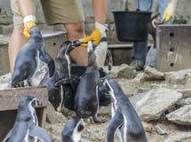 Man feeds penguins fresh fish Stock Photography