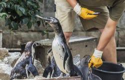 Man feeds penguins fresh fish Royalty Free Stock Photography