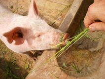 Man feeds pig on organic farm Stock Photo