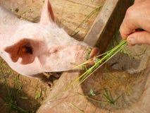 Man feeds pig on organic farm stock photo