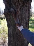 Man feeds a squirrel. royalty free stock photo