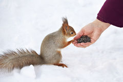 Man feeds squirrel seeds with their hands Royalty Free Stock Image