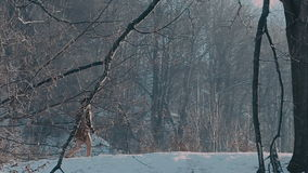 A man in a felt hat and coat comes in the winter woods. brown hat made of felt and a brown coat stock video