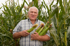 Man on  field corn Stock Image