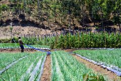 A man on the field. Cultivation of plants on the Bali. royalty free stock photo