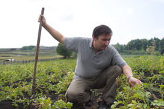 The man on field of potatoes stock photography