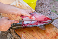 Man fillets fresh fish. Stock Images