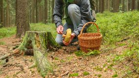 Man finding ugly mushroom at tree stump. Man legs in blue jeans and leather boots come to mushroom, hands cut mushroom. And after checking quality let it be stock video footage