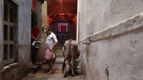 Man finishing cow milking at street in Varanasi. VARANASI, INDIA - 19 FEBRUARY 2015: Man finishing cow milking at street in Varanasi stock video