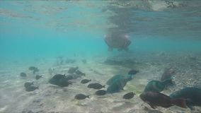 Man is floating over tropical fishes. Man is floating over many species of tropical fish near the coral reef stock video