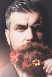 Man with flowers in beard. Frown bearded man with gray moustache and hair stylish hipster male with fresh flowers in beard on dark background Royalty Free Stock Images