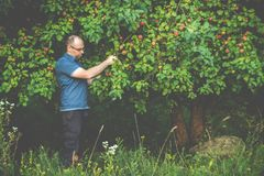 man in forest taking apples from a tree stock image
