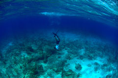 Man free diving and spear fishing Stock Photography