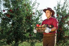 Man garden collect ripe apples hat green red proprietor worker owner harvest box basket. Young happy man in the garden collect ripe apples. A worker in the stock photo