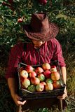 Man garden collect ripe apples hat green red proprietor worker owner harvest box basket. Young happy man in the garden collect ripe apples. A worker in the royalty free stock photos
