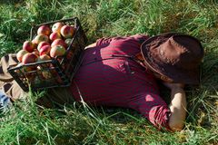 Man garden collect ripe apples hat green red proprietor worker owner harvest siesta stock photo