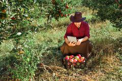 Man garden collect ripe apples hat green red proprietor worker owner harvest. Young happy man in the garden collect ripe apples. Farmer in his own garden looking stock images