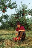 Man garden collect ripe apples hat green red proprietor worker owner harvest. Young happy man in the garden collect ripe apples. Farmer in his own garden looking royalty free stock image