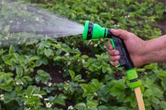 A man with a garden hose. Is watering strawberries royalty free stock photo