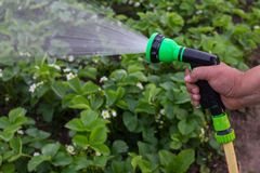 A man with a garden hose. Is watering strawberries stock photos
