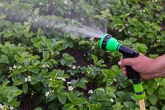 A man with a garden hose. Is watering strawberries stock images