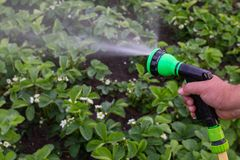 A man with a garden hose. Is watering strawberries royalty free stock image