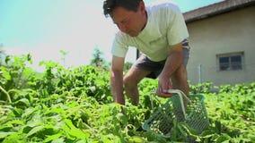 Man in garden picking up potatoes stock video