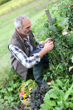 Man in garden picking up tomatoes Royalty Free Stock Photos