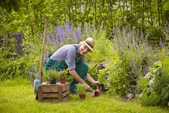 Man garden plants. Man gardening kneeling planting Garden Royalty Free Stock Photos