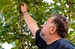Man garden tree worker picking figs Royalty Free Stock Images