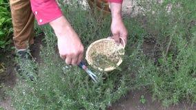 Man gardener herbalist collecting fresh savory in wicker basket stock video