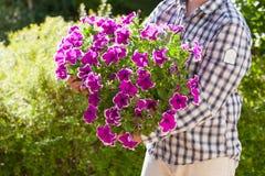 Man gardener holding petunia flowers in flowerpot in garden stock photos