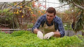 Man gardener inspects leaves of baby plants in greenhouse. Professional man gardener in uniform at work inspects leaves of baby plants in greenhouse, front view stock video footage